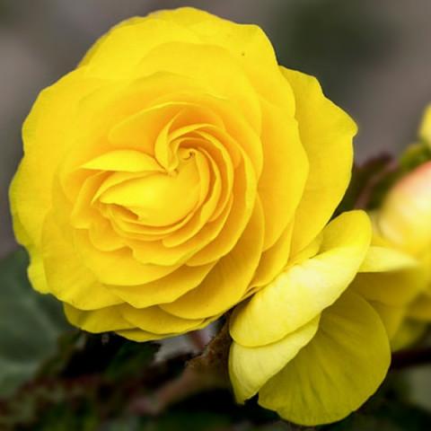 Бегонія New Star Yellow