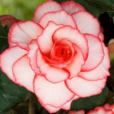 Бегонія Picotee White Red