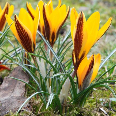 Крокус ботанический Angustifolius