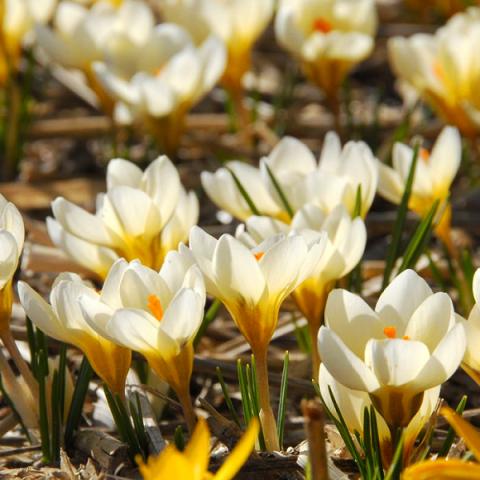 Крокус ботанический Cream Beauty