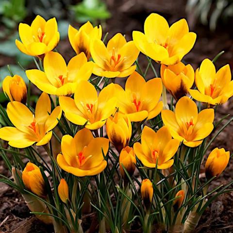 Крокус ботанический Goldilocks
