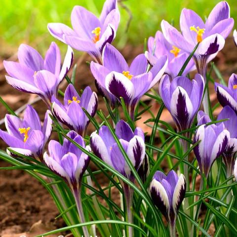 Крокус ботанический Spring Beauty