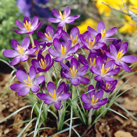 Крокус ботанический Whitewell Purple