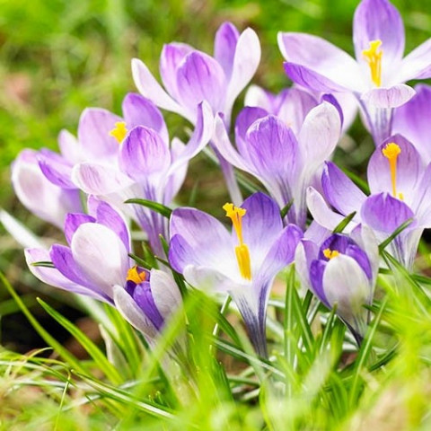 Крокус ботанический Yalta