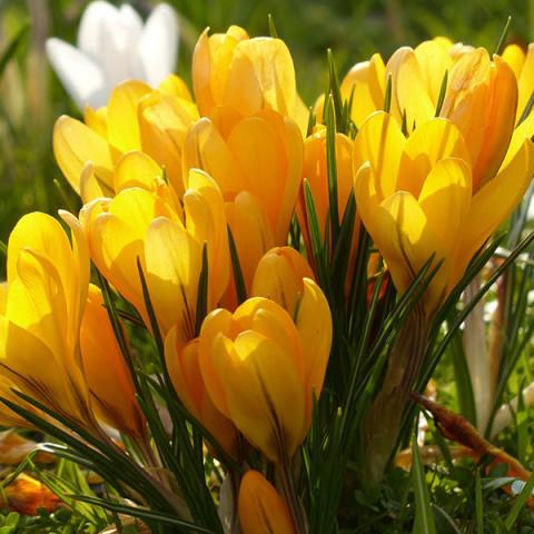 Крокус крупноцветковый Yellow Giant