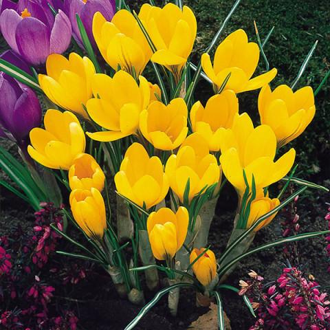 Крокус крупноцветковый Yellow Mammouth