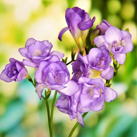 Фрезія махрова Purple
