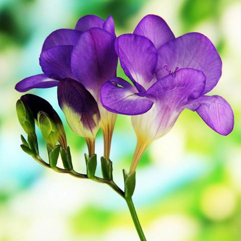 Фрезія проста Purple