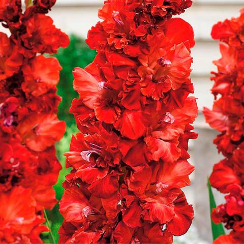 Гладиолус Гофрированный Charmberry