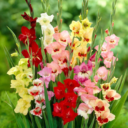 Гладиолус Крупноцветковый смесь 3 лук
