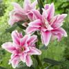 Лилия ориентальная махровая Roselily Belonica