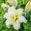 Лилия ориентальная махровая Roselily Carolina
