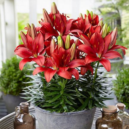 Лилия низкорослая Ceb Crimson