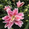 Лилия ориентальная махровая Roselily Ciara