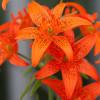 Лилия видовая Concolor