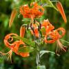 Лилия свисающая тигровая Lancifolium Splendens