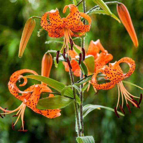Лілія звисаюча тигрова Lancifolium Splendens