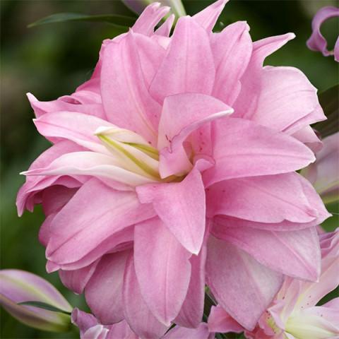 Лилия ориентальная махровая Lotus Dream