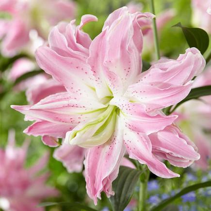 Лилия ориентальная махровая Lotus Elegance