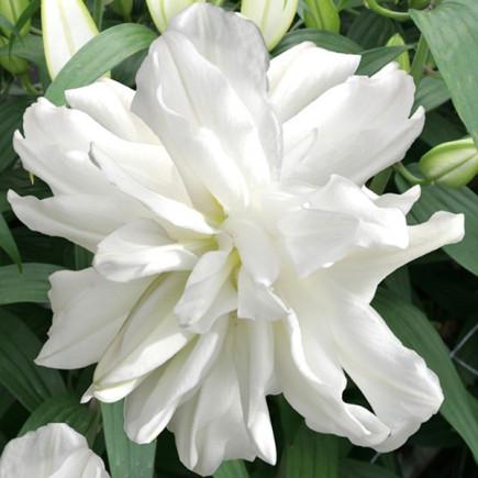 Лилия ориентальная махровая Lotus Ice