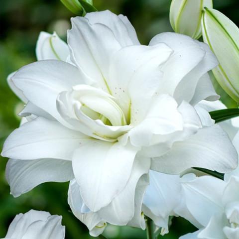 Лилия ориентальная махровая Lotus Pure
