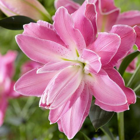 Лилия ориентальная махровая Lotus Wonder