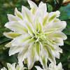 Лилия ориентальная махровая Polar Star