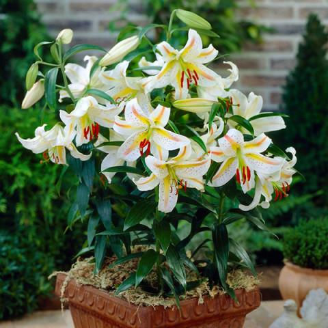 Лилия низкорослая Auratum