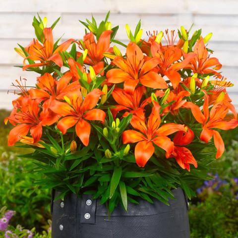 Лілія низькоросла Matrix Orange