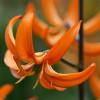 Лілія Мартагон Orange Marmalade
