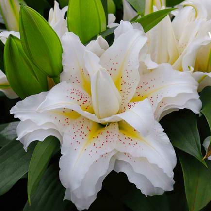 Лилия ориентальная махровая Roselily Sita