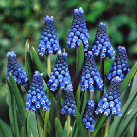 Мускари Blue Magic