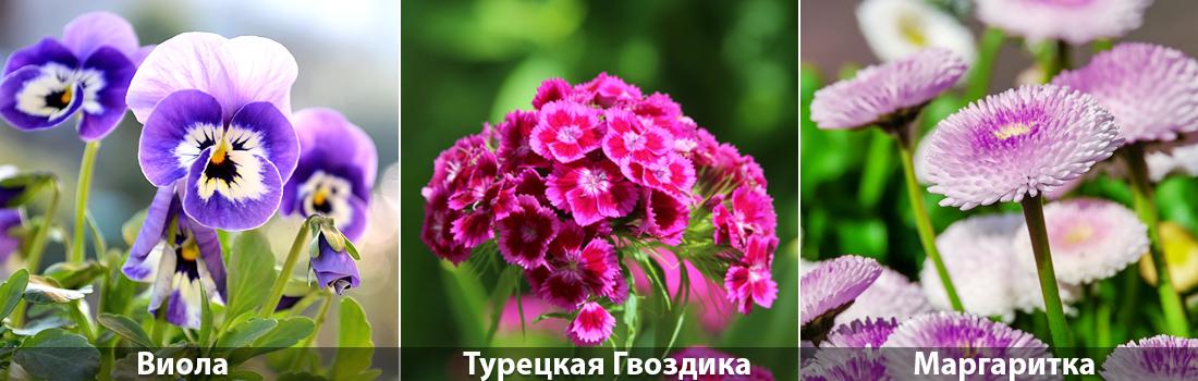 Виола, Турецкая гвоздика, Маргаритка посадка семян летом