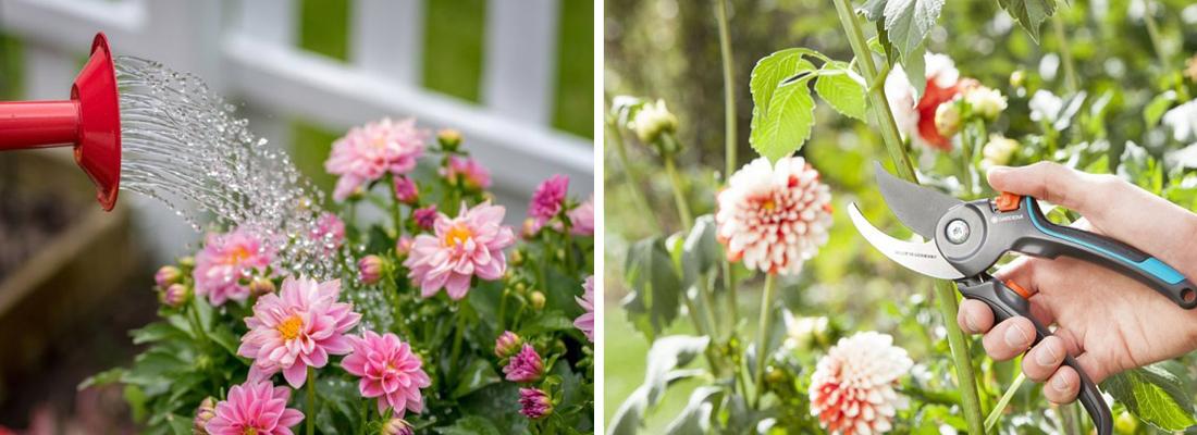 Георгины полив летом, формирование куста фото