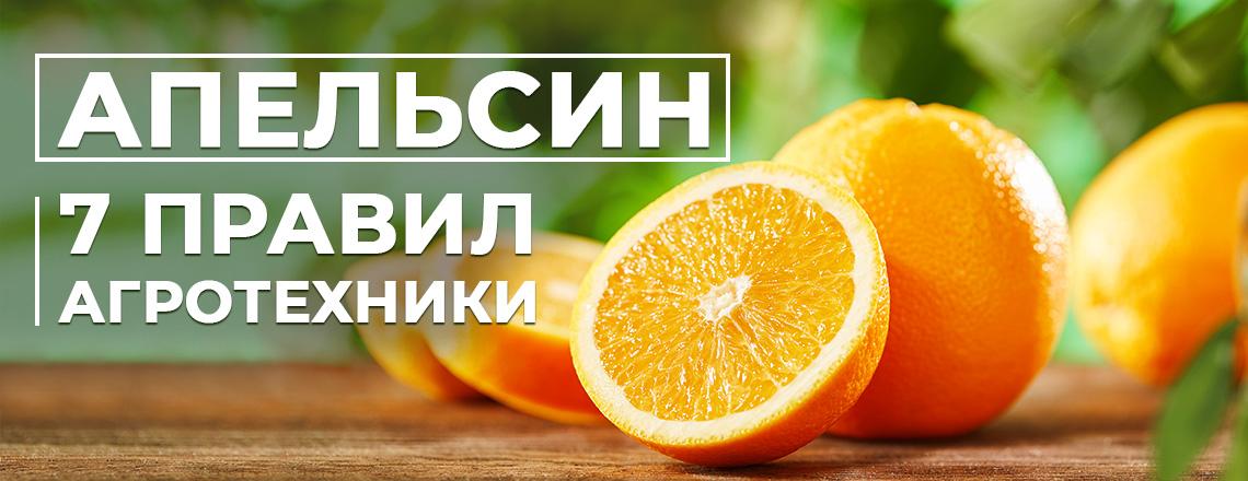 Апельсин - 7 правил агротехники, выращивание лучших сортов дома