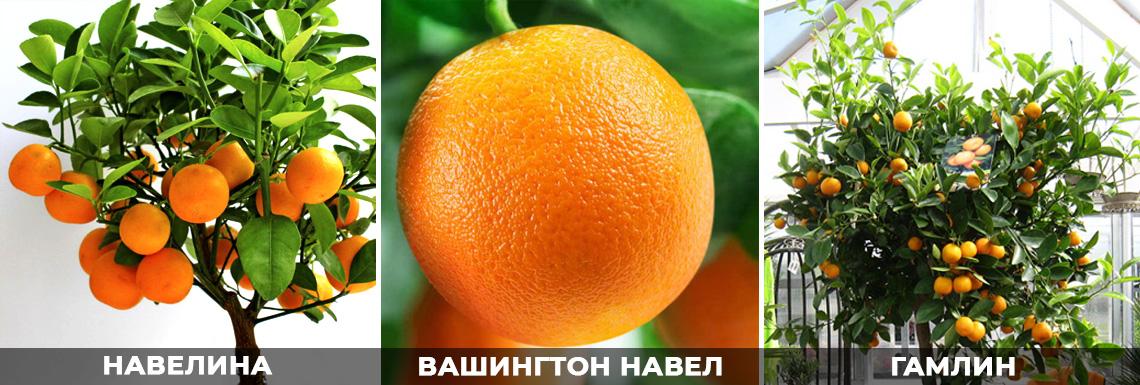 Апельсин - лучшие сорта для домашнего выращивания, фото