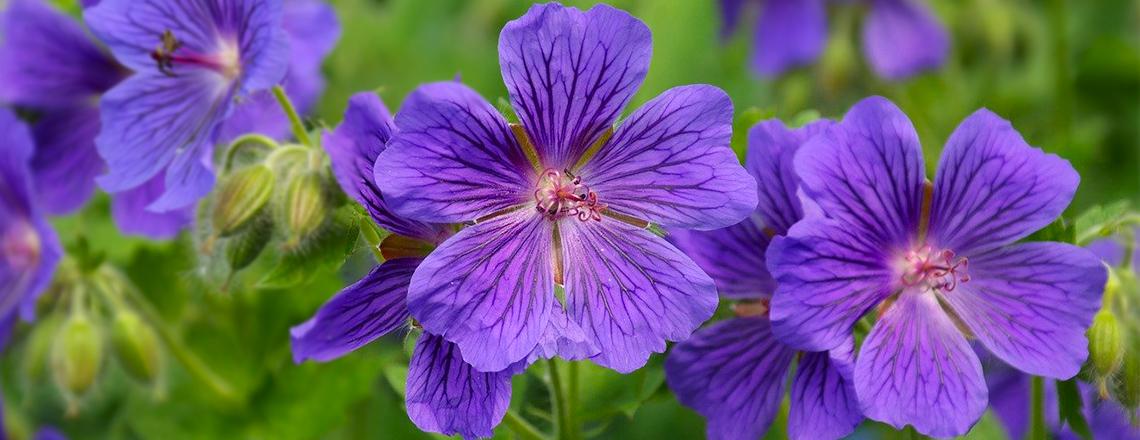 Герань садовая лучшие сорта, посадка, фото описание