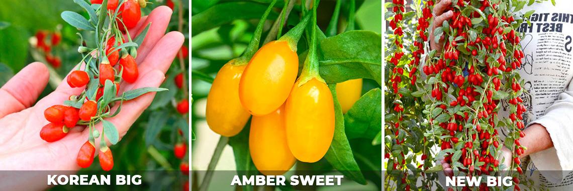 Лучшие сорта ягод годжи, описание, фото, отзывы