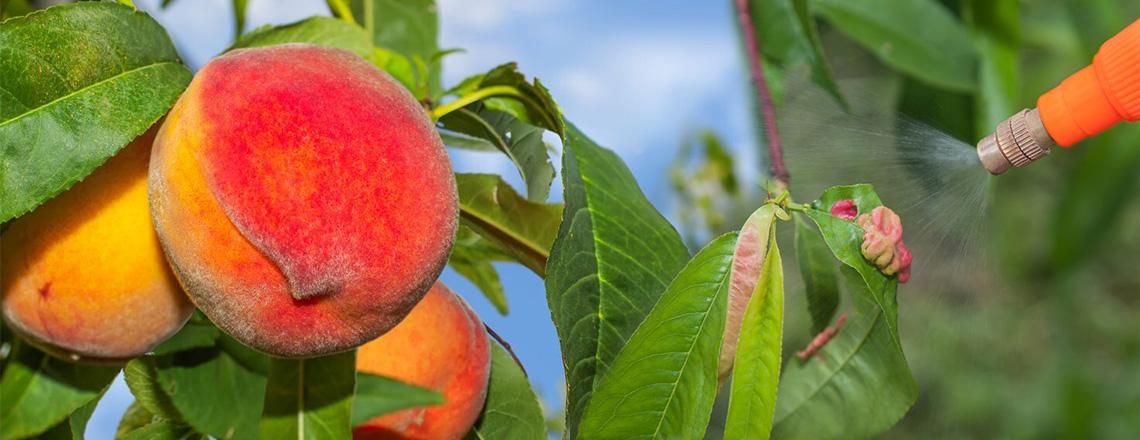 Кучерявость персика, как боротся, методы и список лучших препаратов