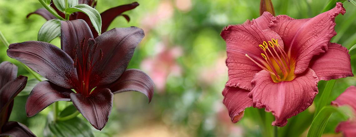 Лилия и лилейники в чем разница? фото