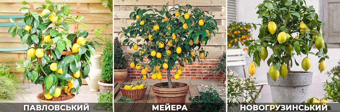 Найкращі сорти лимона, для вирощування вдома, фото