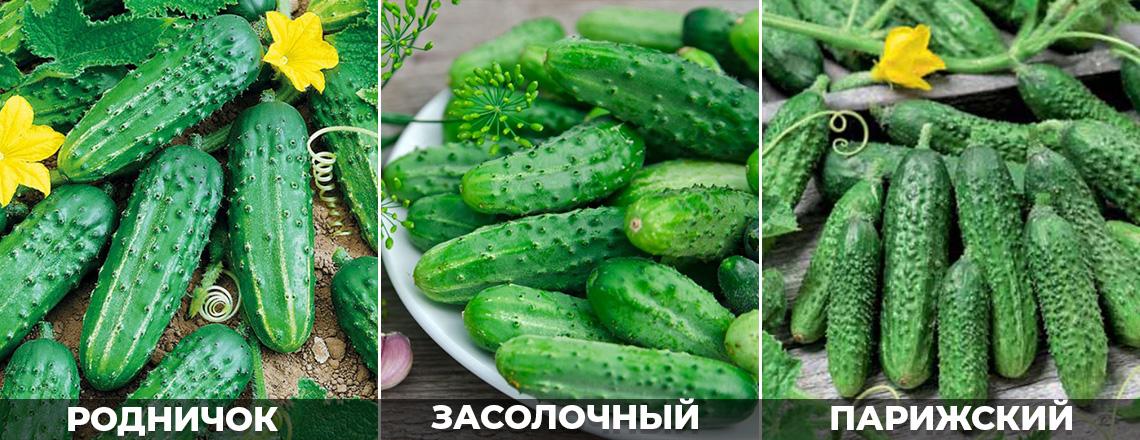 Лучшие сорта огурцов для засолки, родничок, засолочный, описание фото