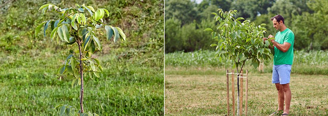 Посадка саженцев ореха, весной, осенью