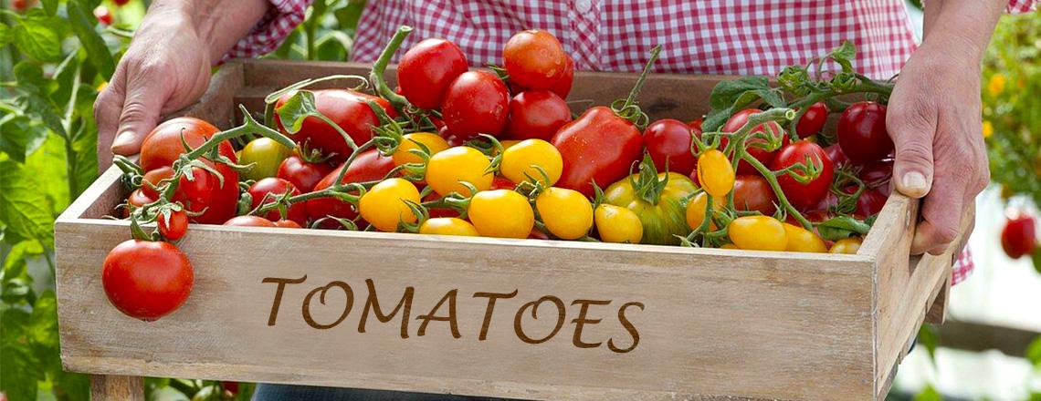 Томаты, виды, типы, сорта помидоров, фото