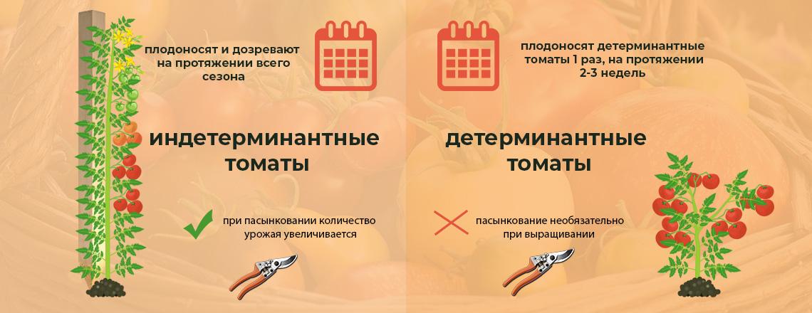 Детерминантные и индетерминантные томаты, разница фото