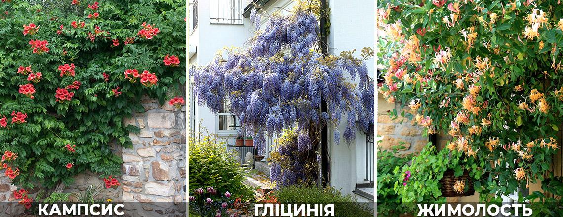 Вертекальне озеленення: Гліцинія, декоративна жимолость, фото