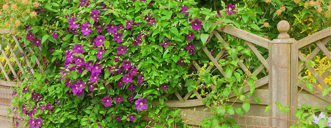 Вертикальное озеленение ТОП 10 растений, фото