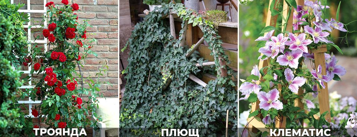 Вертикальне озелененння, троянди, клематис, фото