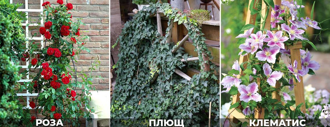 Вертикальное озеленение розы, клематисы, плющ, фото