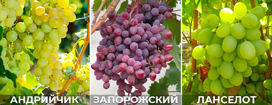 Морозостойкий виноград, андрийчик, запорожский кишмиш, фото, описание